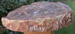 SiS HUGE 9 Petrified Wood Round DRAMATIC African WOODWORTHIA BIG HEEL CUT