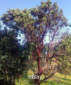 12 Grandes Branches Premium Manzanita - Fraîchement Coupées De 42 À 48 Pouces